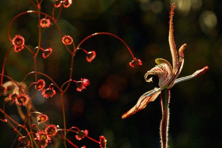 Caladenia sp.; Drosera menziesii (planta carn?vora)
