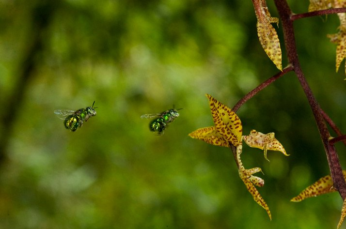 Gongora powellii; Euglossa deceptrix (abejas)