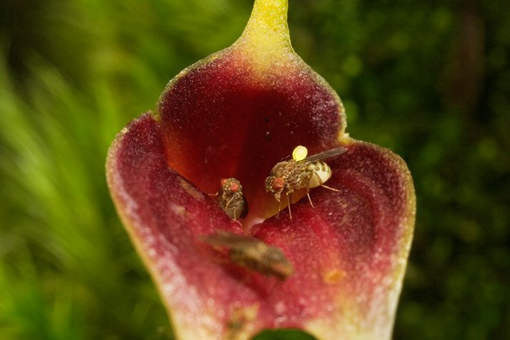Masdevallia calura; Drosophila sp. (mosca)