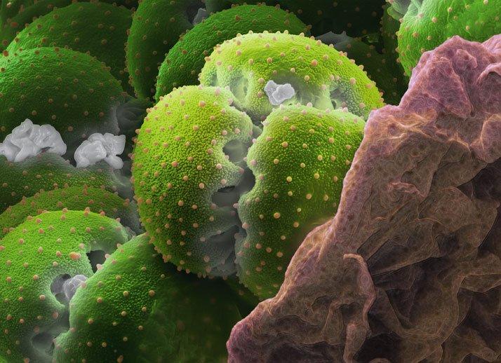 polen11. Atrapamoscas?