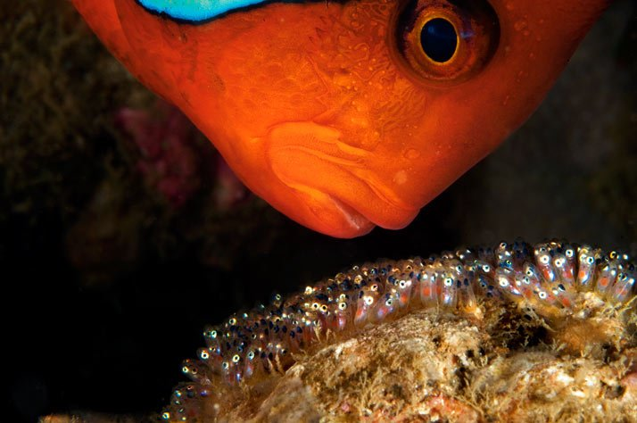 pezpayaso5. Amphiprion frenatus