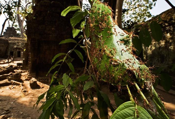 Hormigas de Camobya