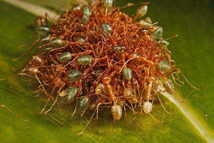 Hormigas de Australia