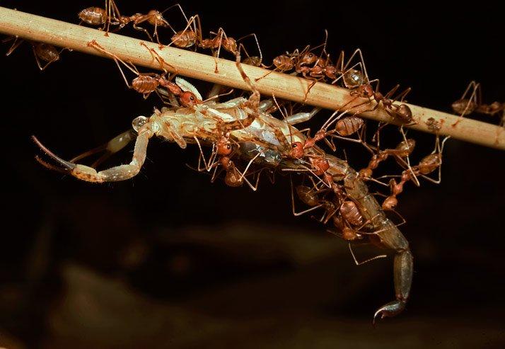 Hormigas cazadoras de Camboya