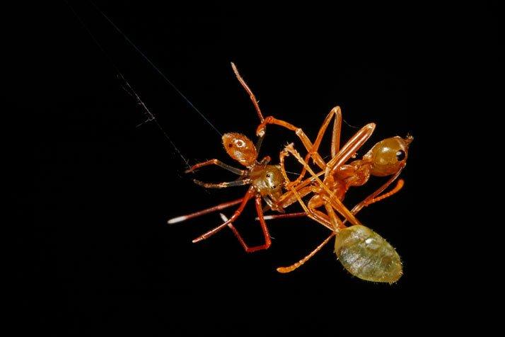 Hormiga atrapada por una ara?a