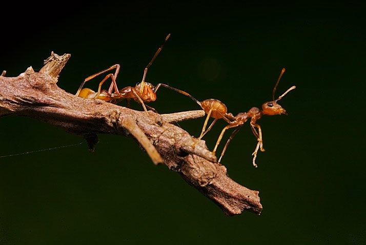 Ara?a saltadora y hormiga