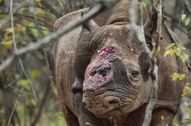 Rinocerontes: combatiendo la caza furtiva (Natgeo)