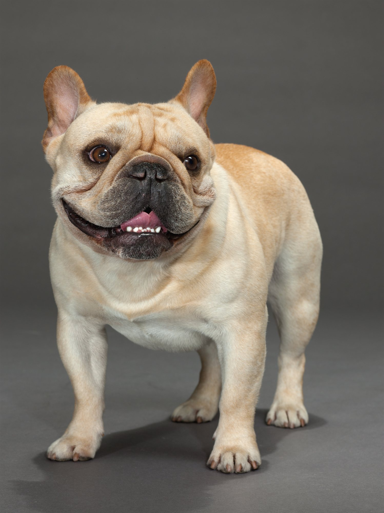 03-french-bulldog. Bulldog Francés