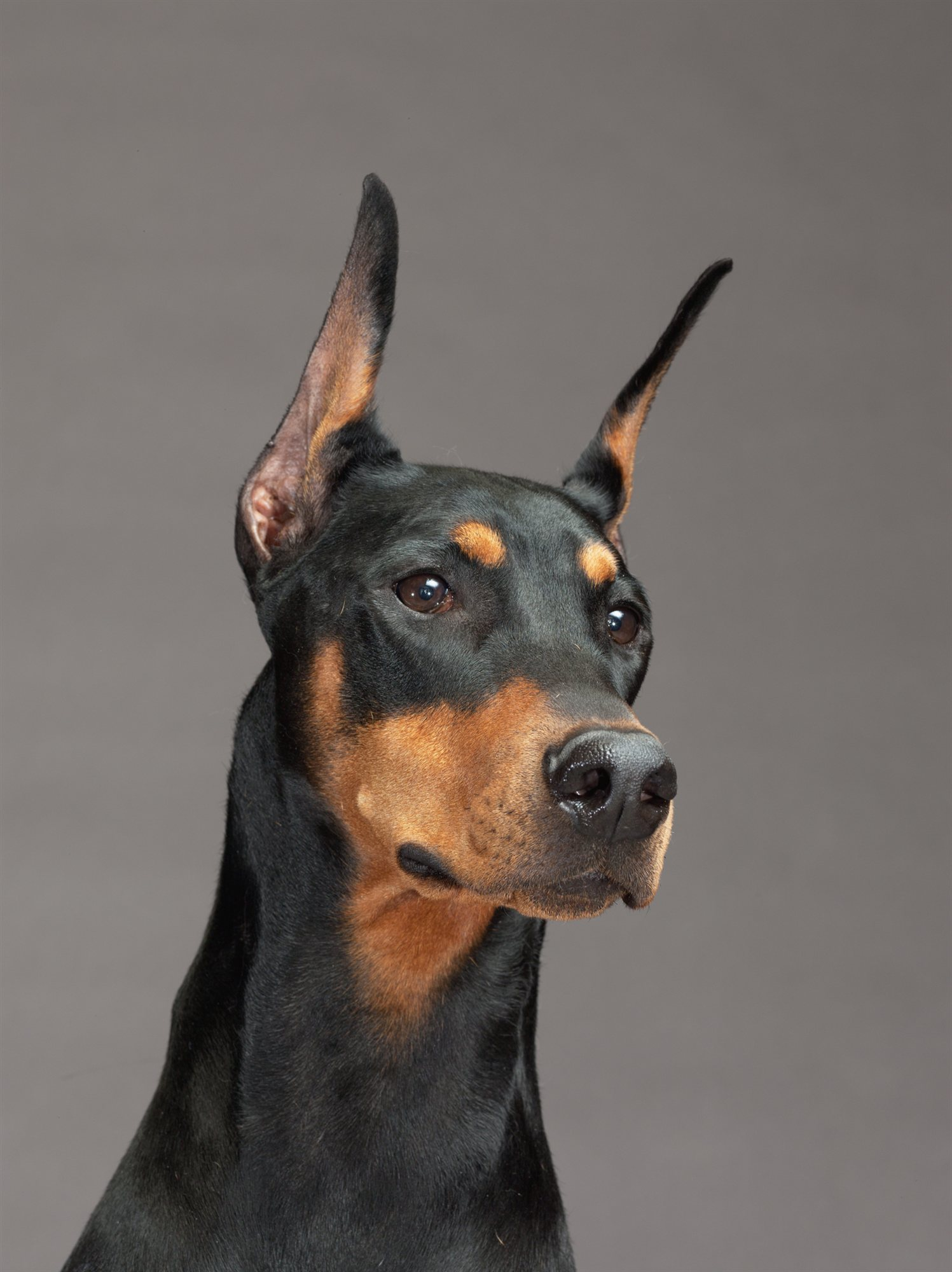 08-doberman-pinscher. Dóbermann