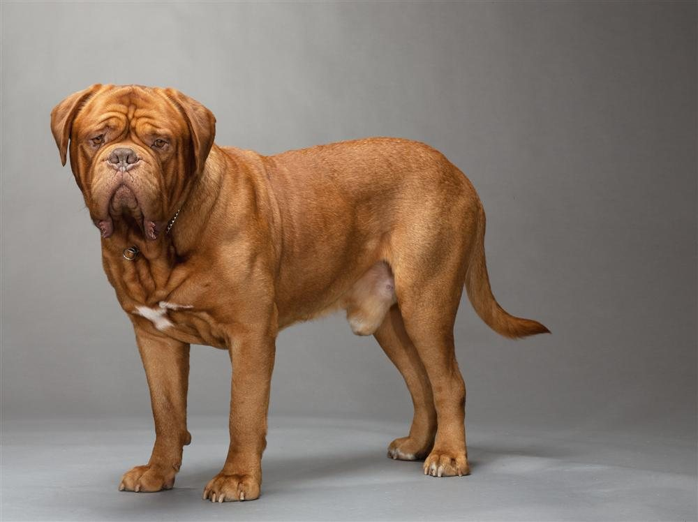 22-dogue-de-bordeaux. Dogo de Burdeos