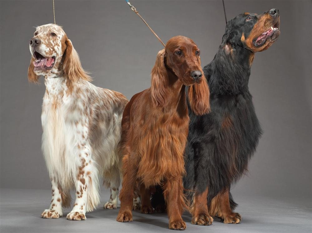 33-english-irish-gordon-setters. Perros
