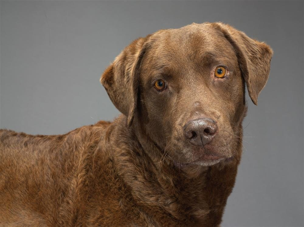 36-chesapeake-bay-retriever. Retriever de Chesapeake