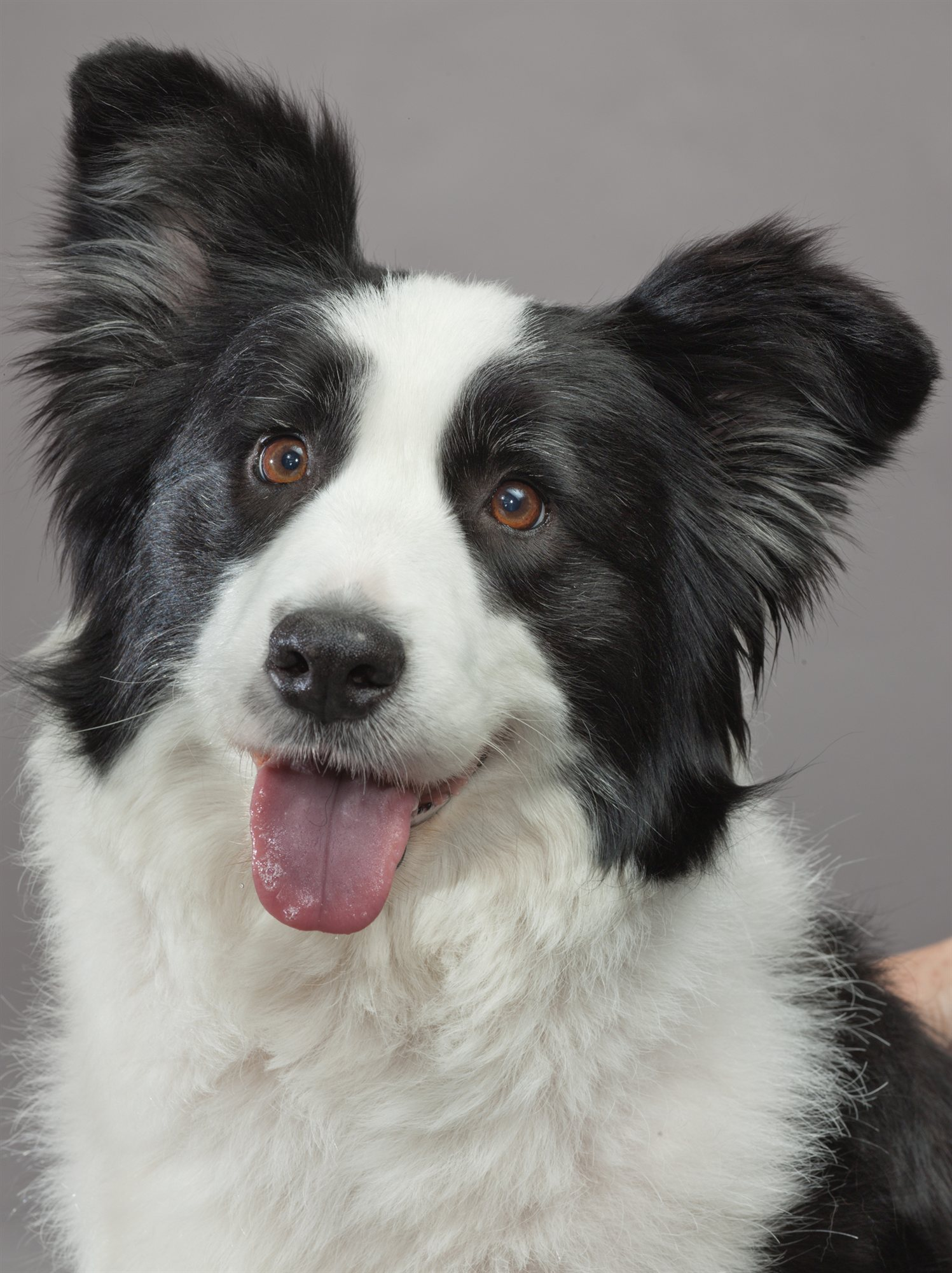 39-border-collie. Border Collie