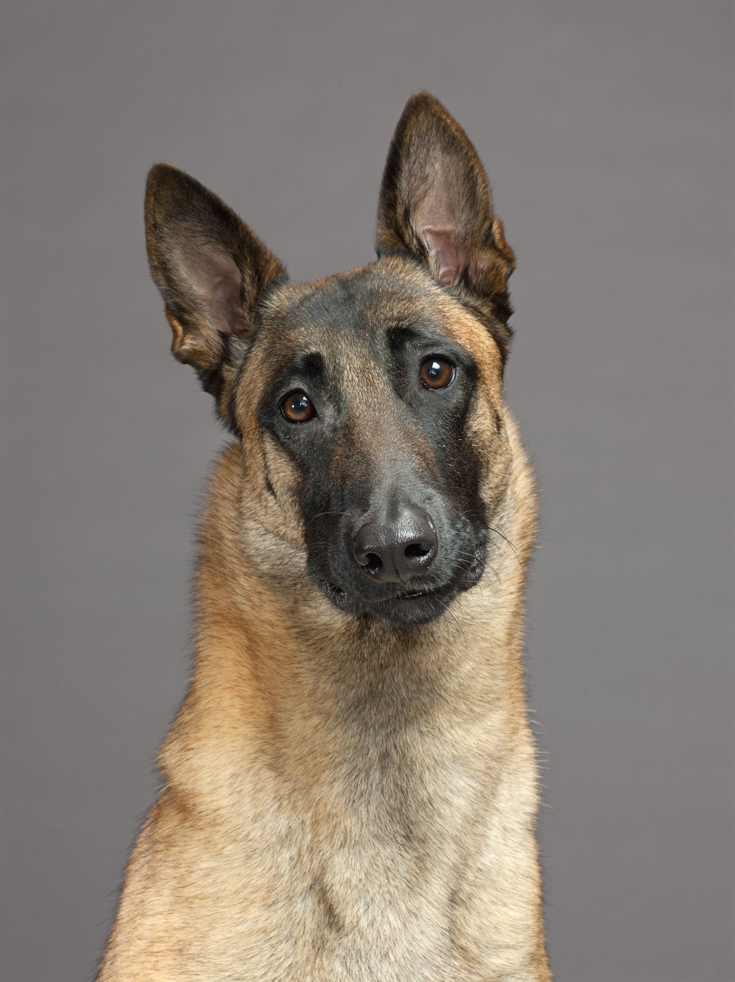 41-german-shorthaired-pointer. Pastor Belga Malinois