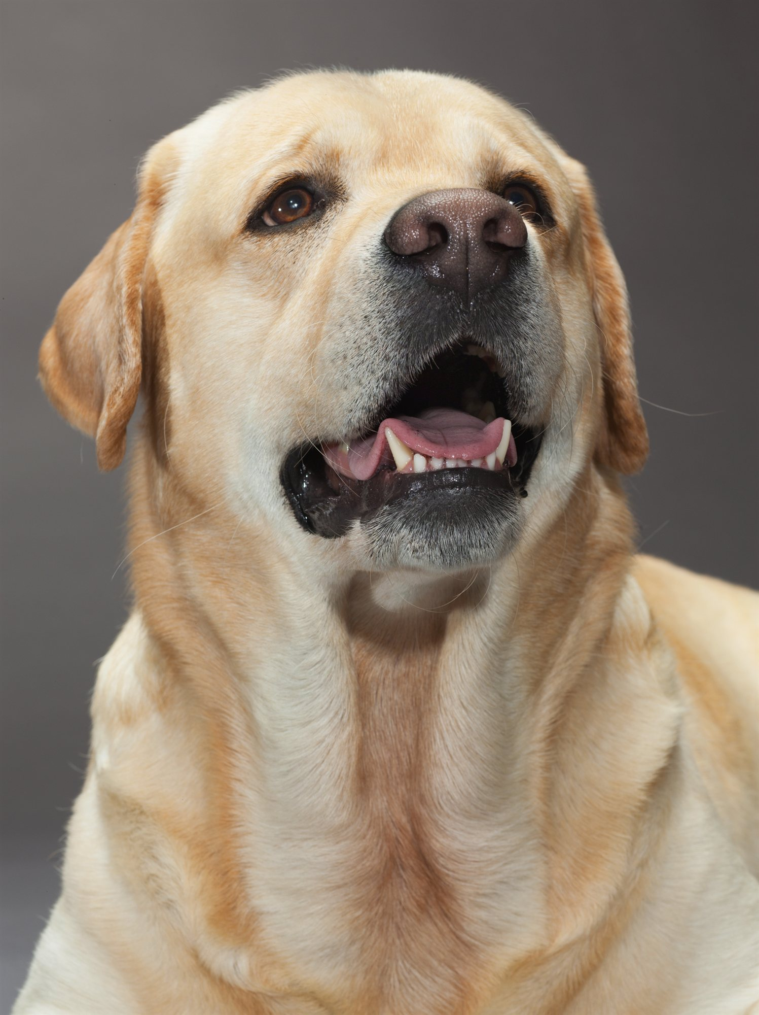 46-labrador-retriever. Labrador Retriever