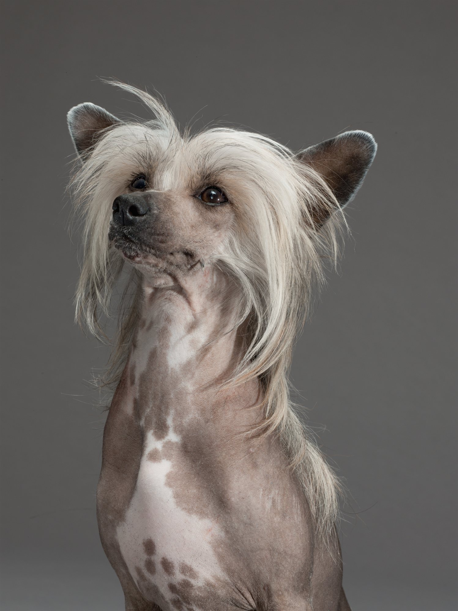 52-chinese-crested. Sugar
