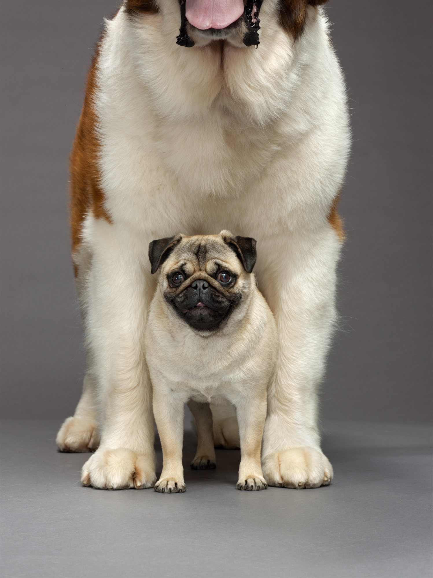 55-pug-and-saint-bernard. Perros