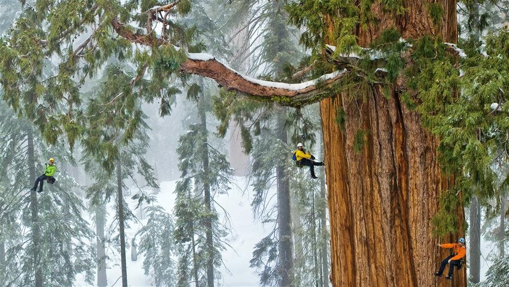 05-sequoias-withstand-winter-snow-weight. El gigante del bosque