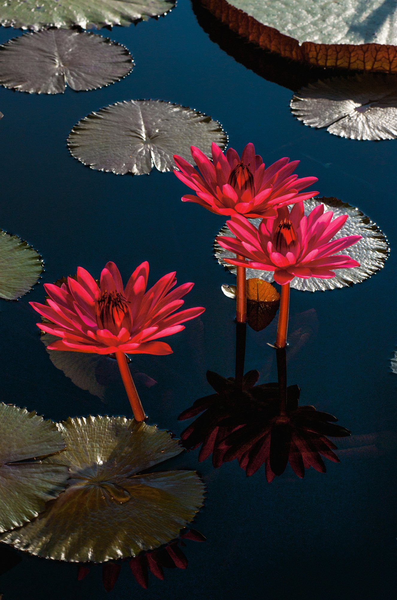 04-tropical-water-lillies-longwood-gardens-pennsylvania. Jardines nocturnos