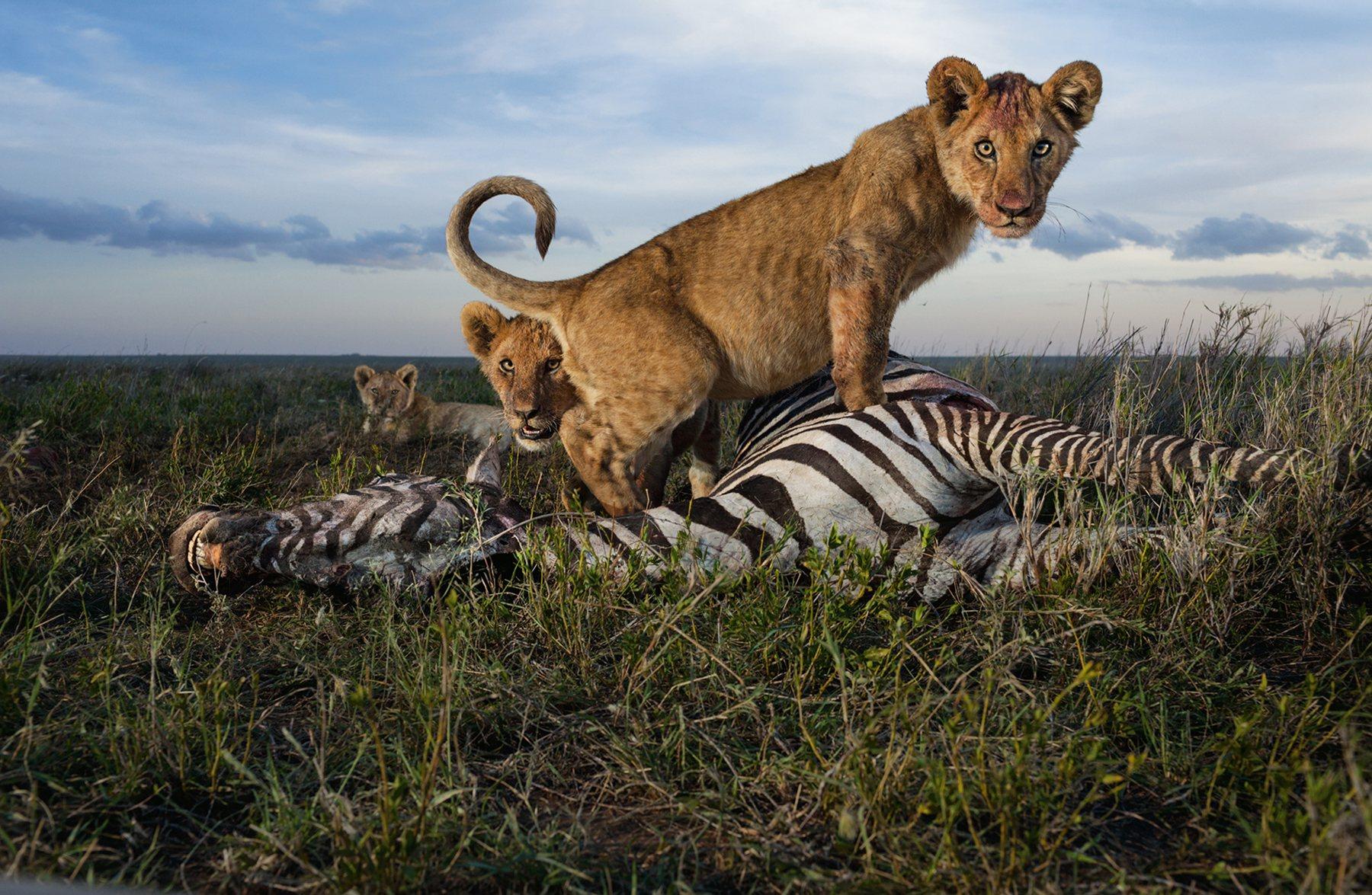 Leones Del Serengeti