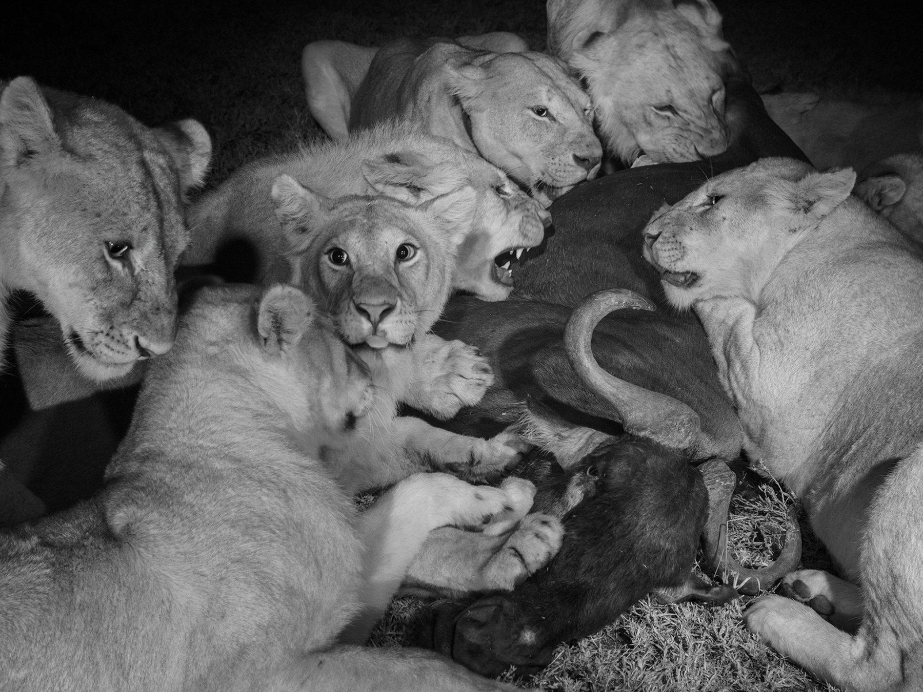 león solo macho negro sitio web