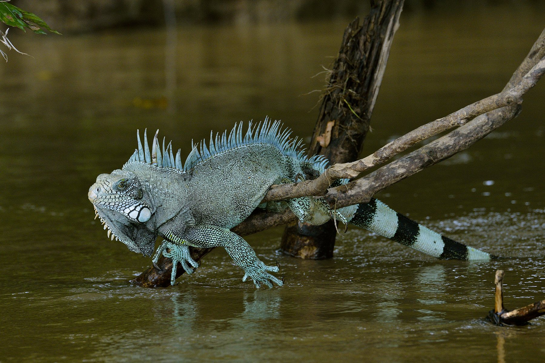 O.Grunewald Cano Cristales 83. Iguana iguana