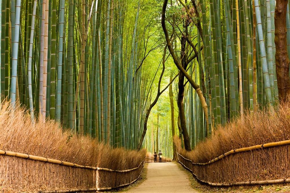 Pasear entre los bambús de Sagano en Japón