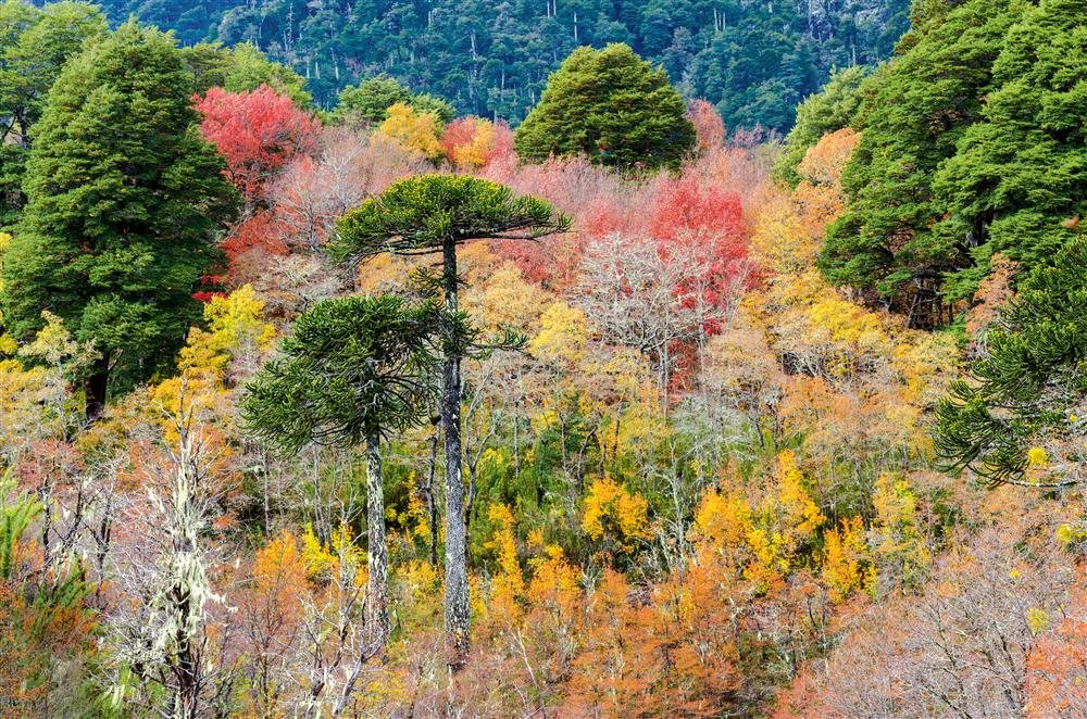 Araucanía, la gran floresta chilena