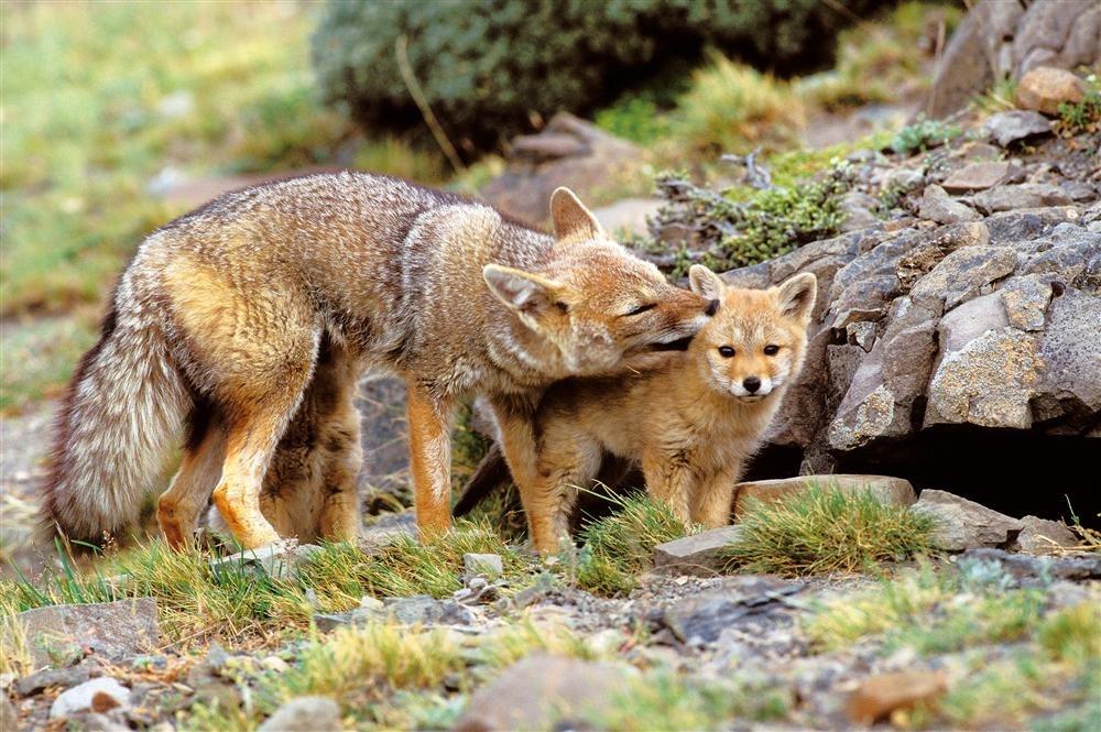 T89-635102. Fauna patagónica