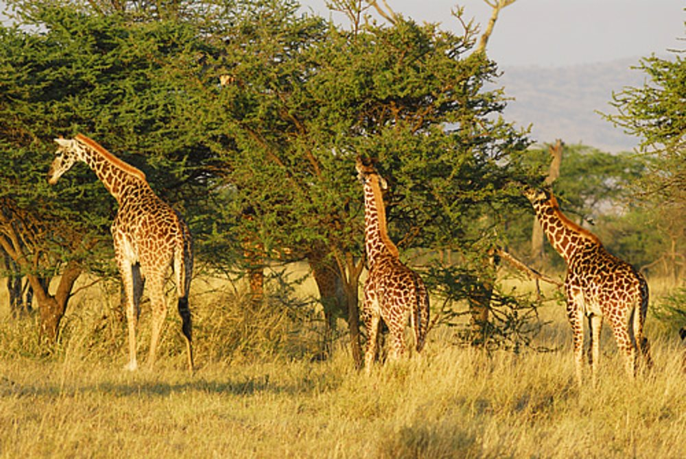 Serengueti. Tanzania
