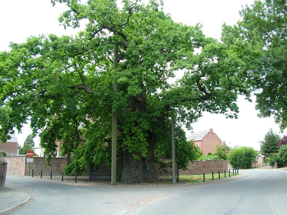 BE The Big oak of Liernu (Fondation Wallonne pour la Conservation des Habitats). Gran Roble de Liernu, Bélgica