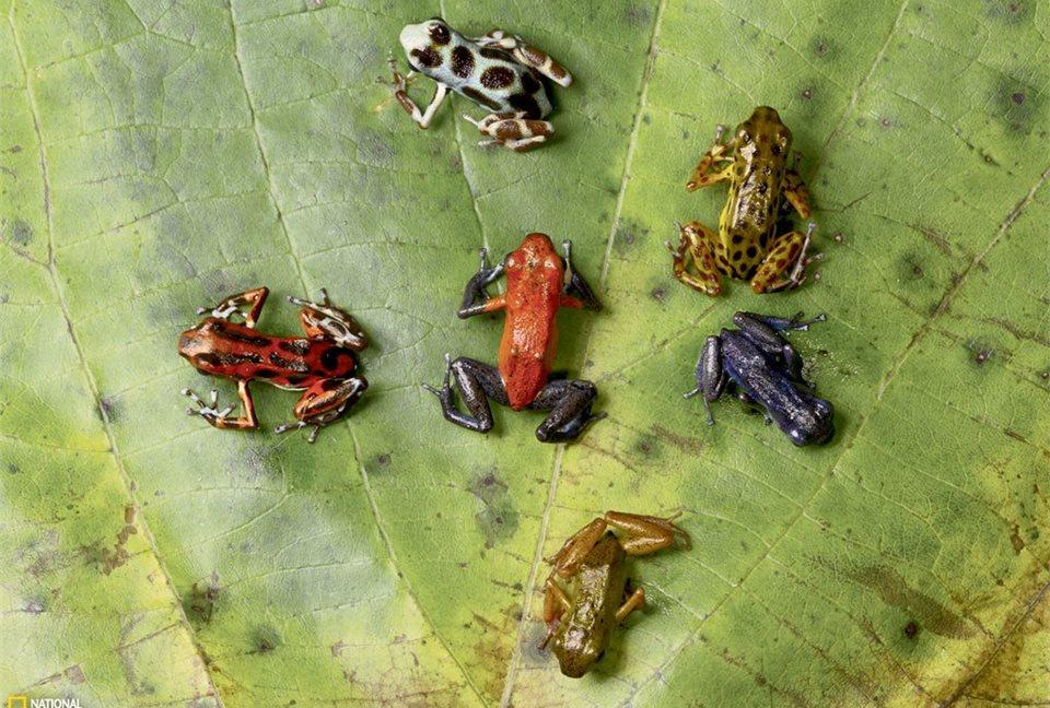 Entre las ranas, los colores llamativos suelen indicar toxicidad.