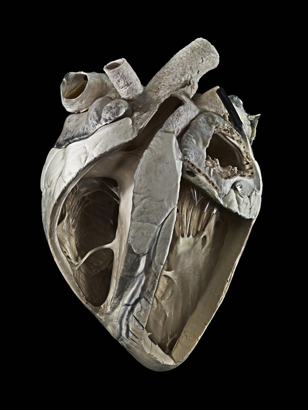 Corazón de vaca