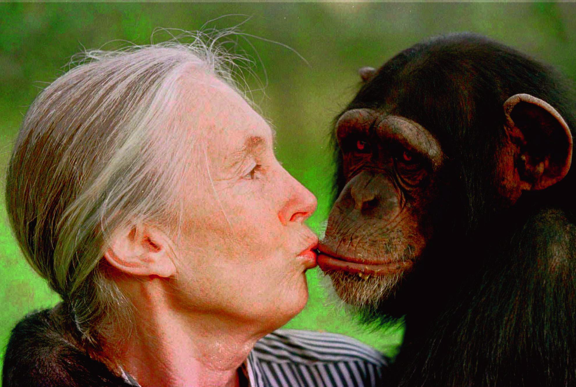 10 Datos Curiosos Sobre Los Chimpancés