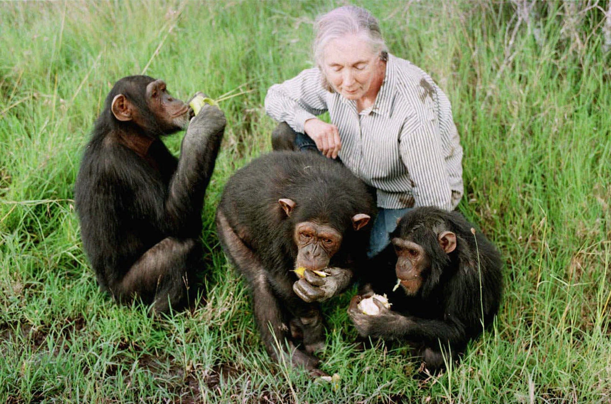Jane goodall chimpances 3