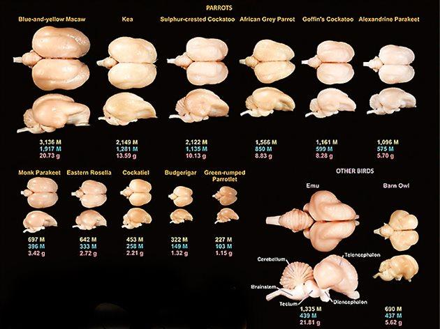 El subestimado cerebro de los pájaros