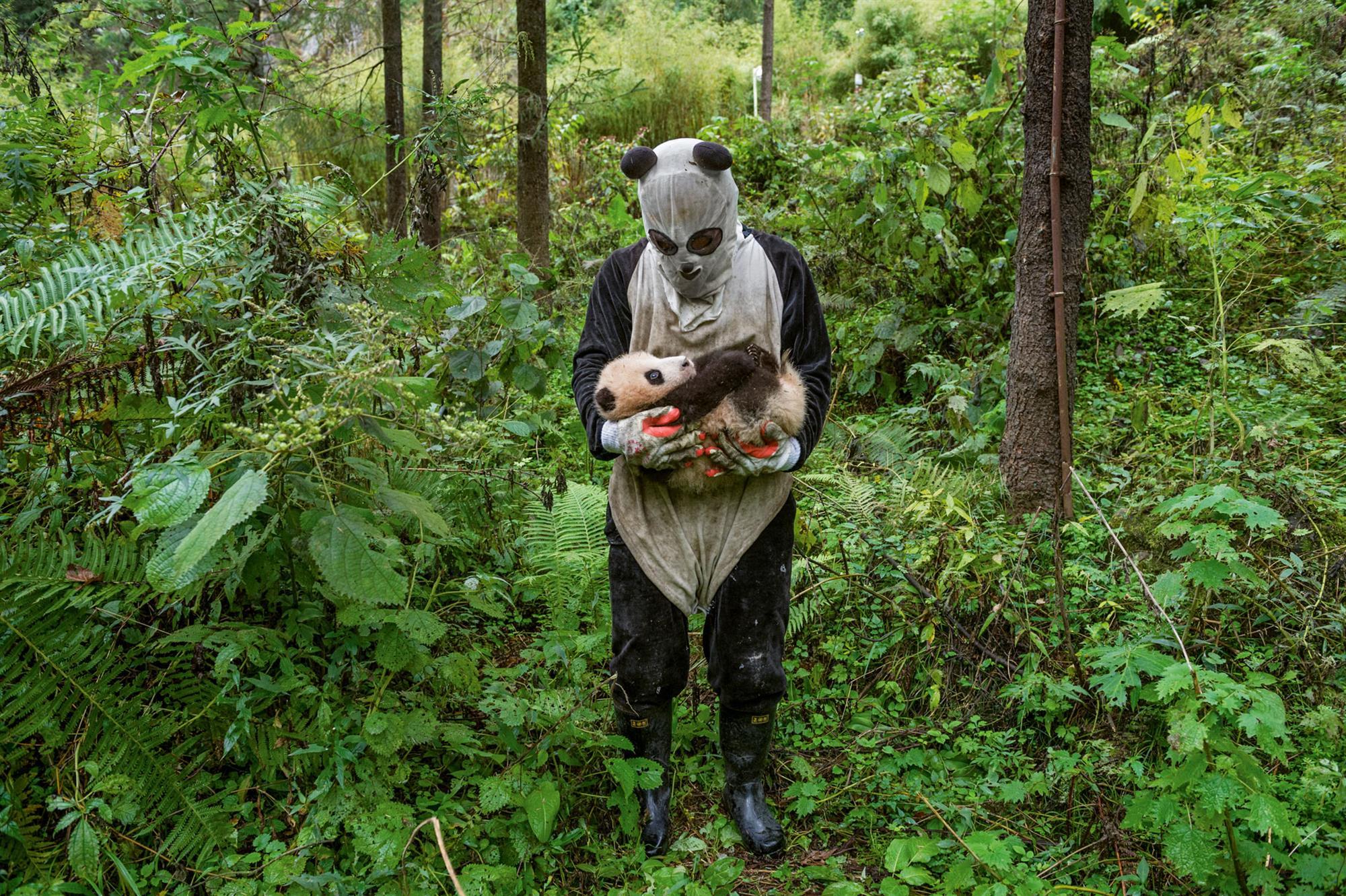 Osos panda, regreso a la libertad en China