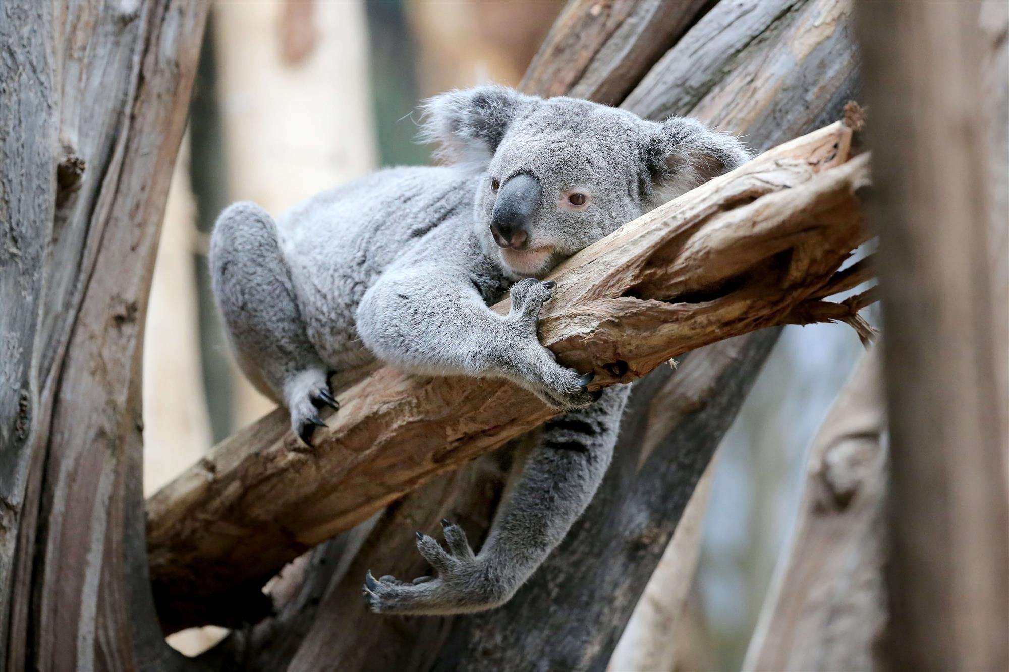 причина реферат на тему коала с фото светло-желтого или светло-желтого