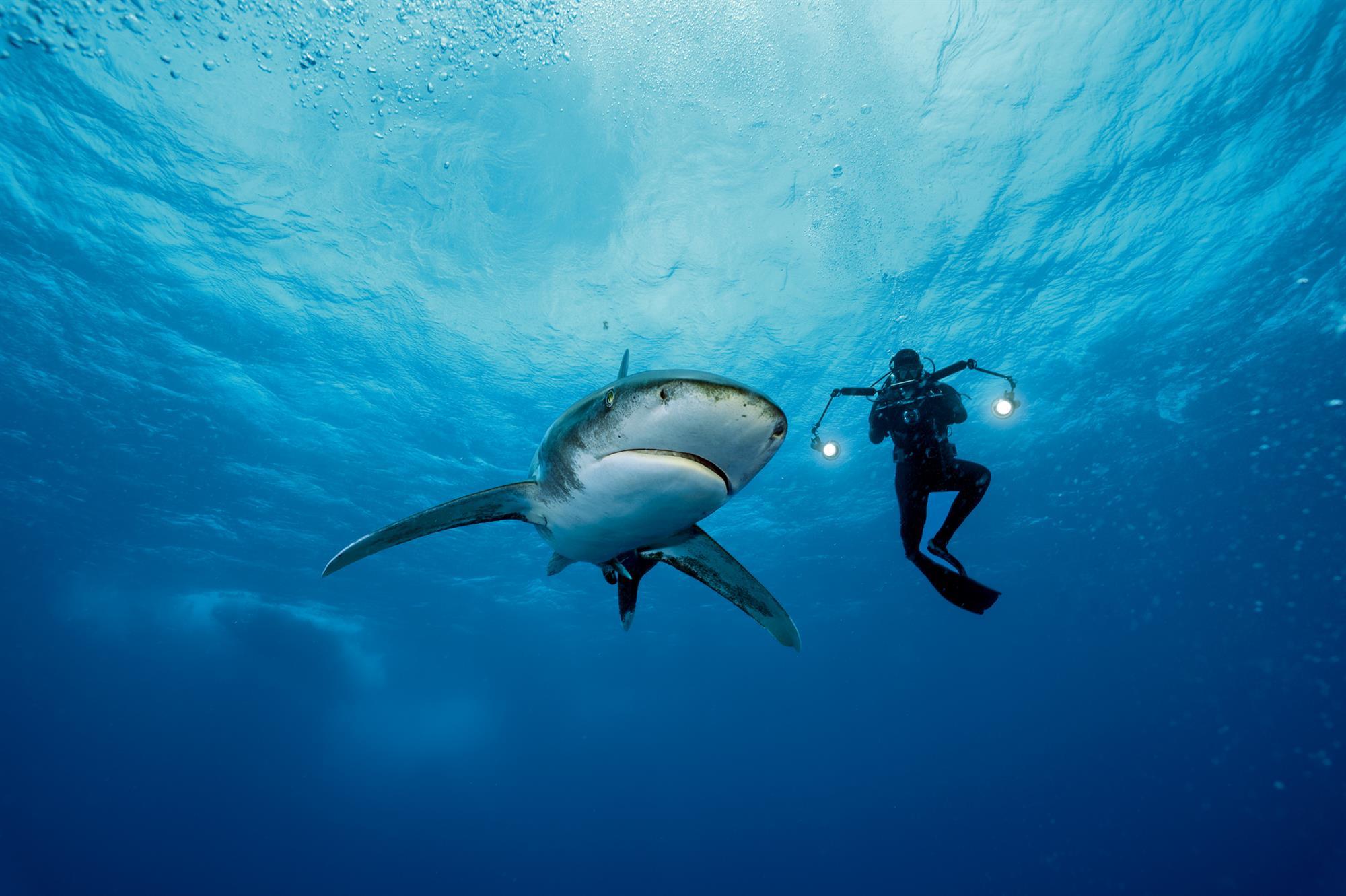 Tiburones oceánicos, ¿los dueños de los mares?