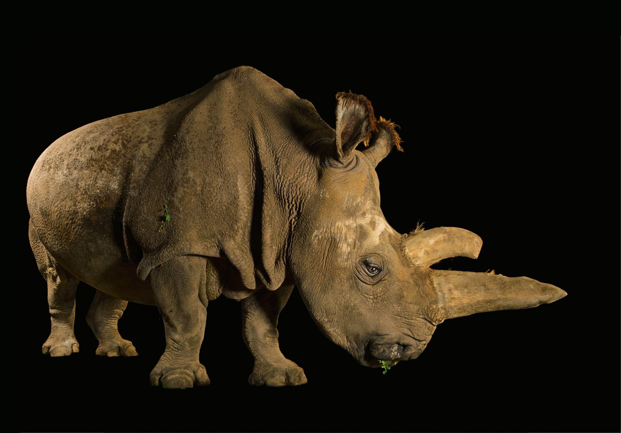 Rinoceronte blanco norteño