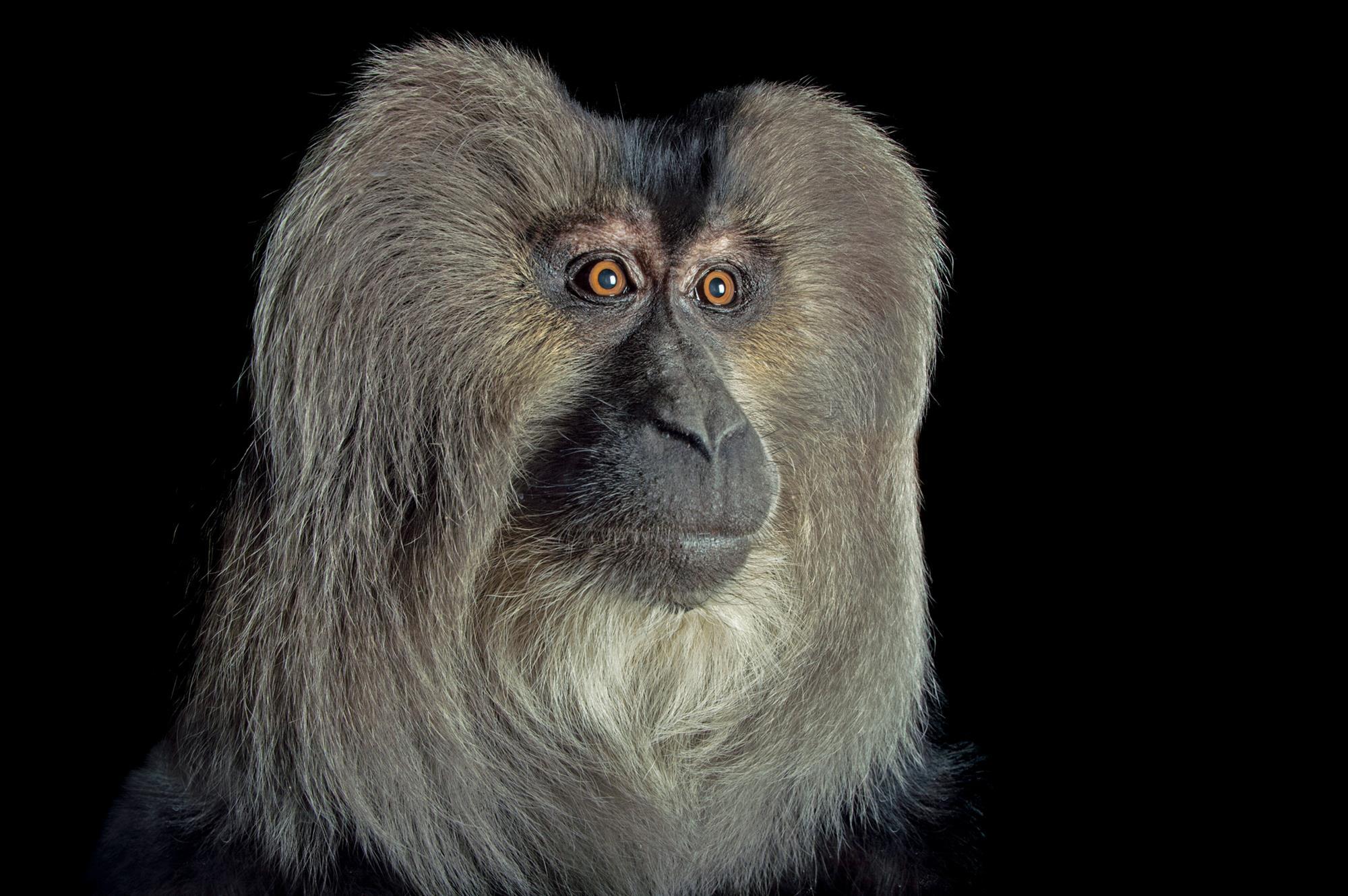 Macaco de cola de león