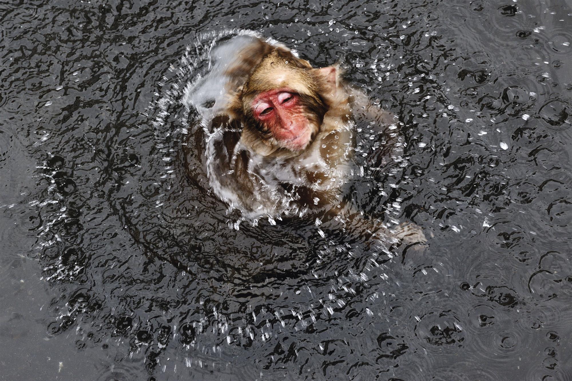 Macacos Japoneses Los Monos De Las Nieves