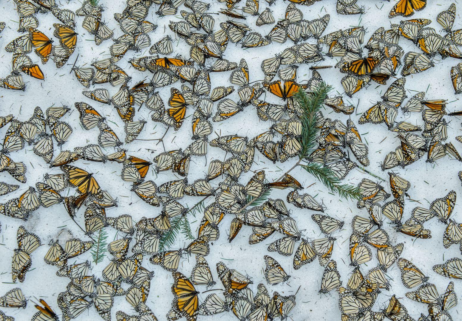 """Monarchs in the Snow"""