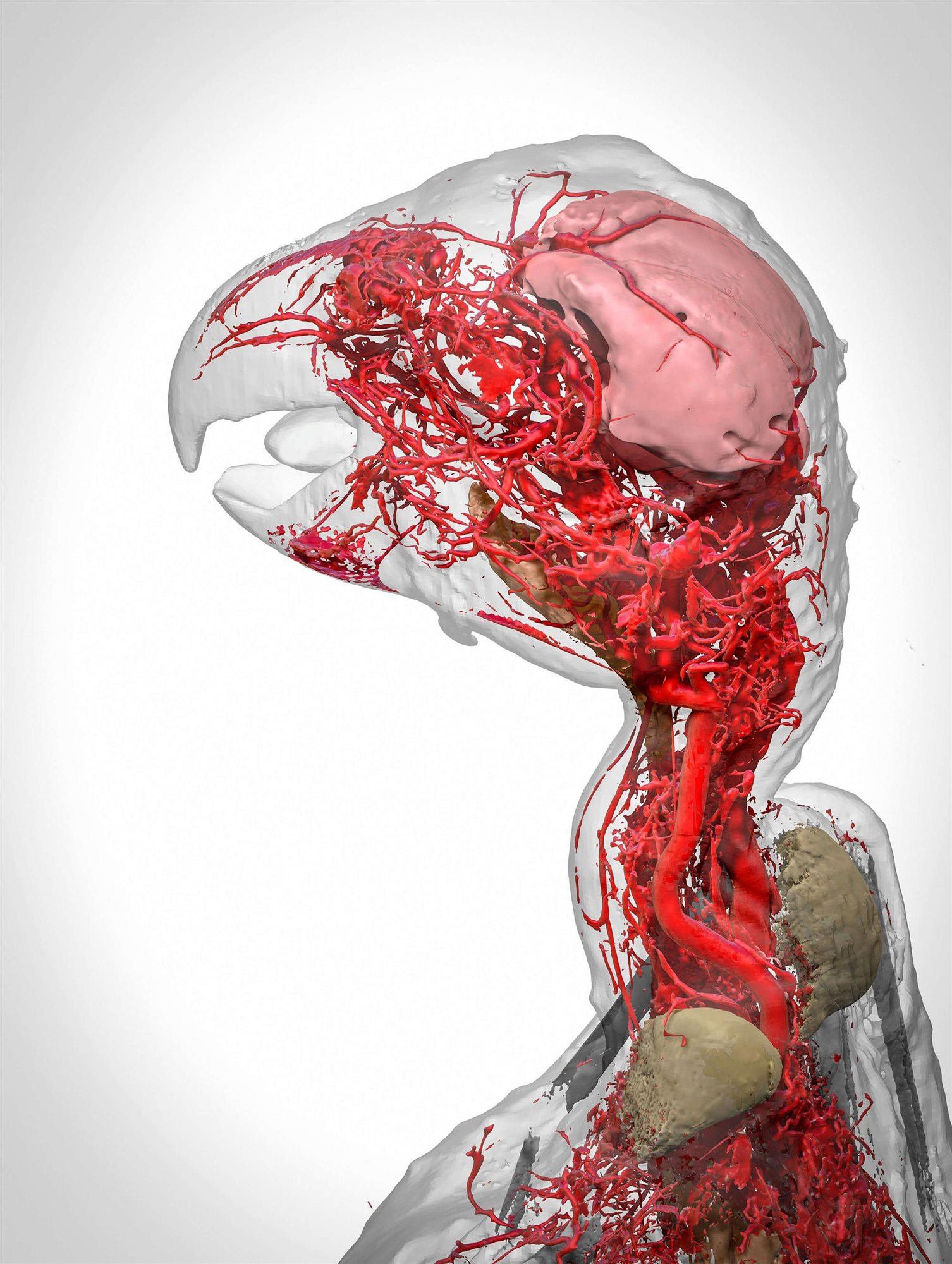 """Blood vessels of the African grey parrot"""