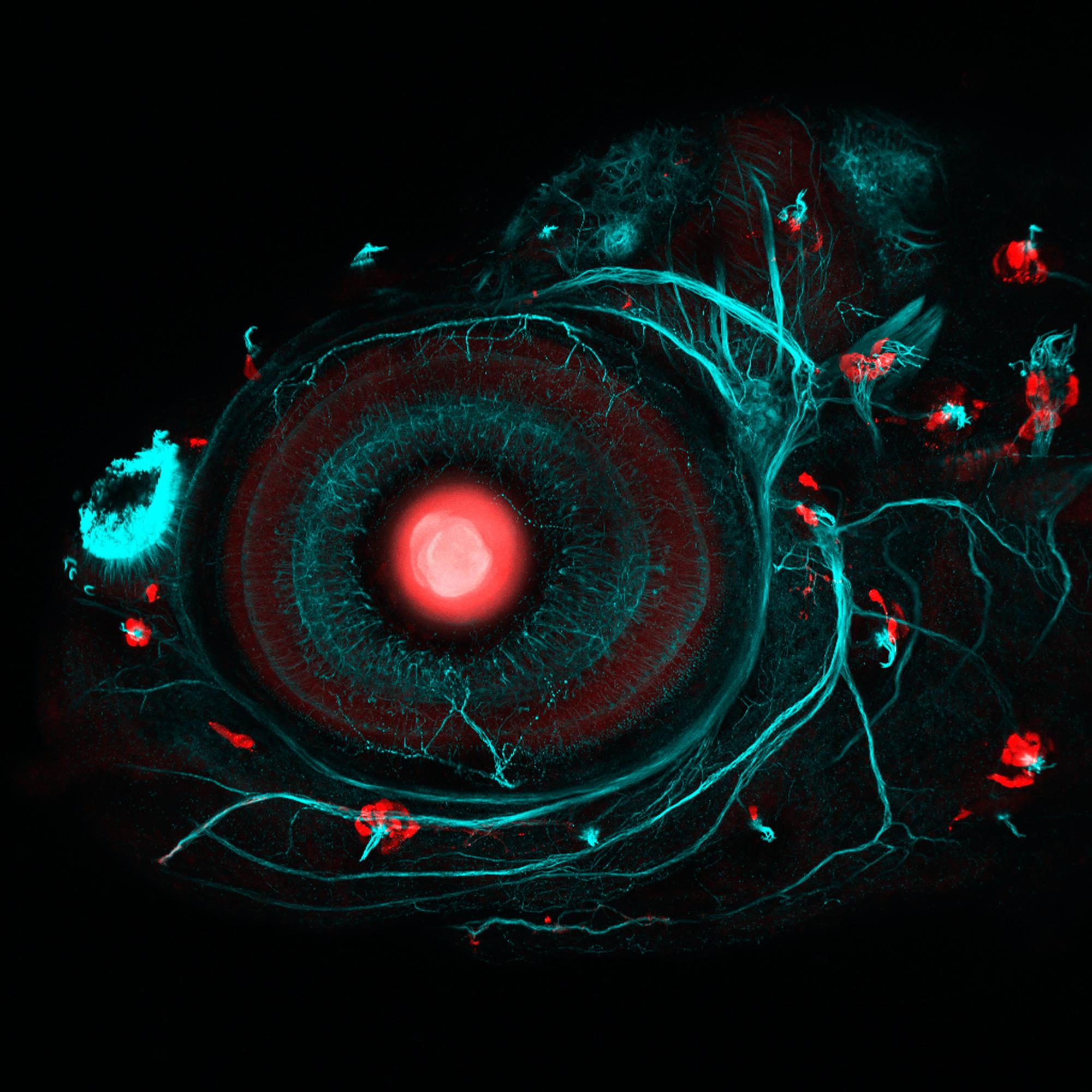 """Zebrafish eye and neuromasts"""