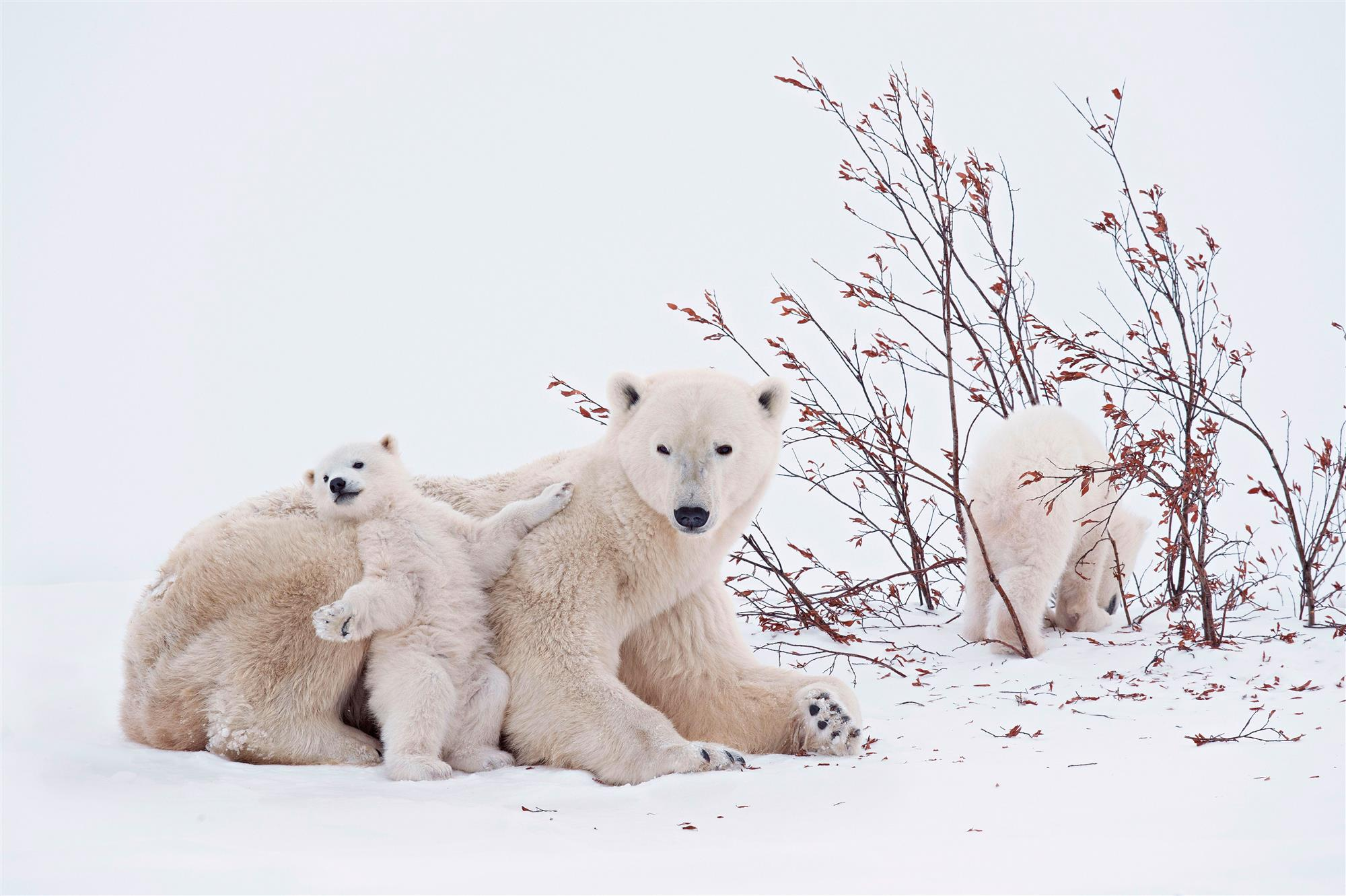 Imagenes De Osos Polares: 36 Fotos De Osos Polares