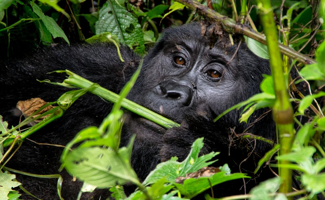 12 Fotos de Gorilas