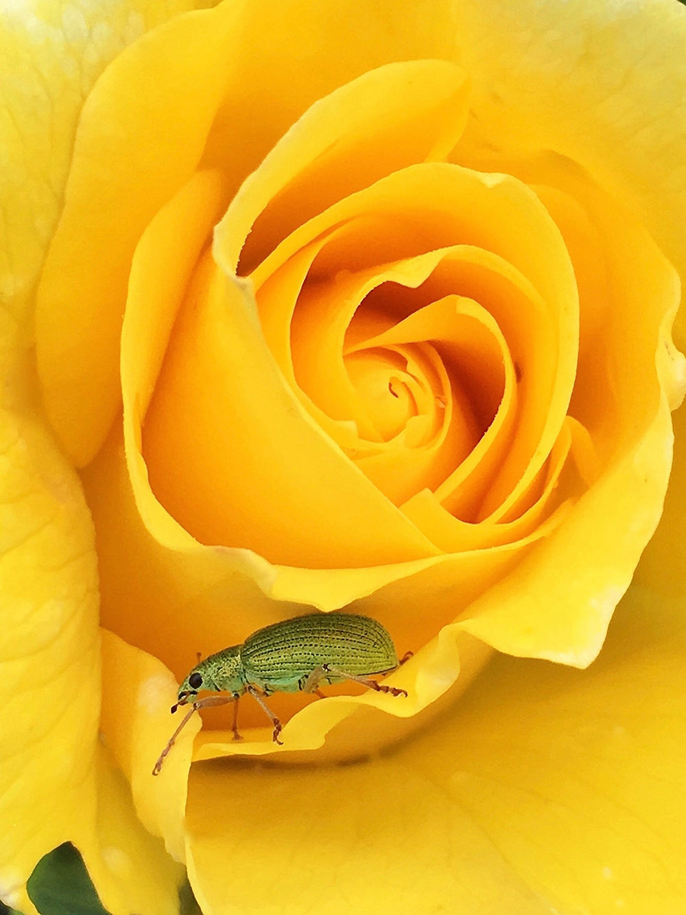 """Weevil in Yellow"""