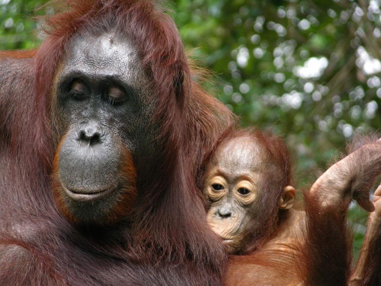 La lactancia en orangutanes es la más larga observada en primates