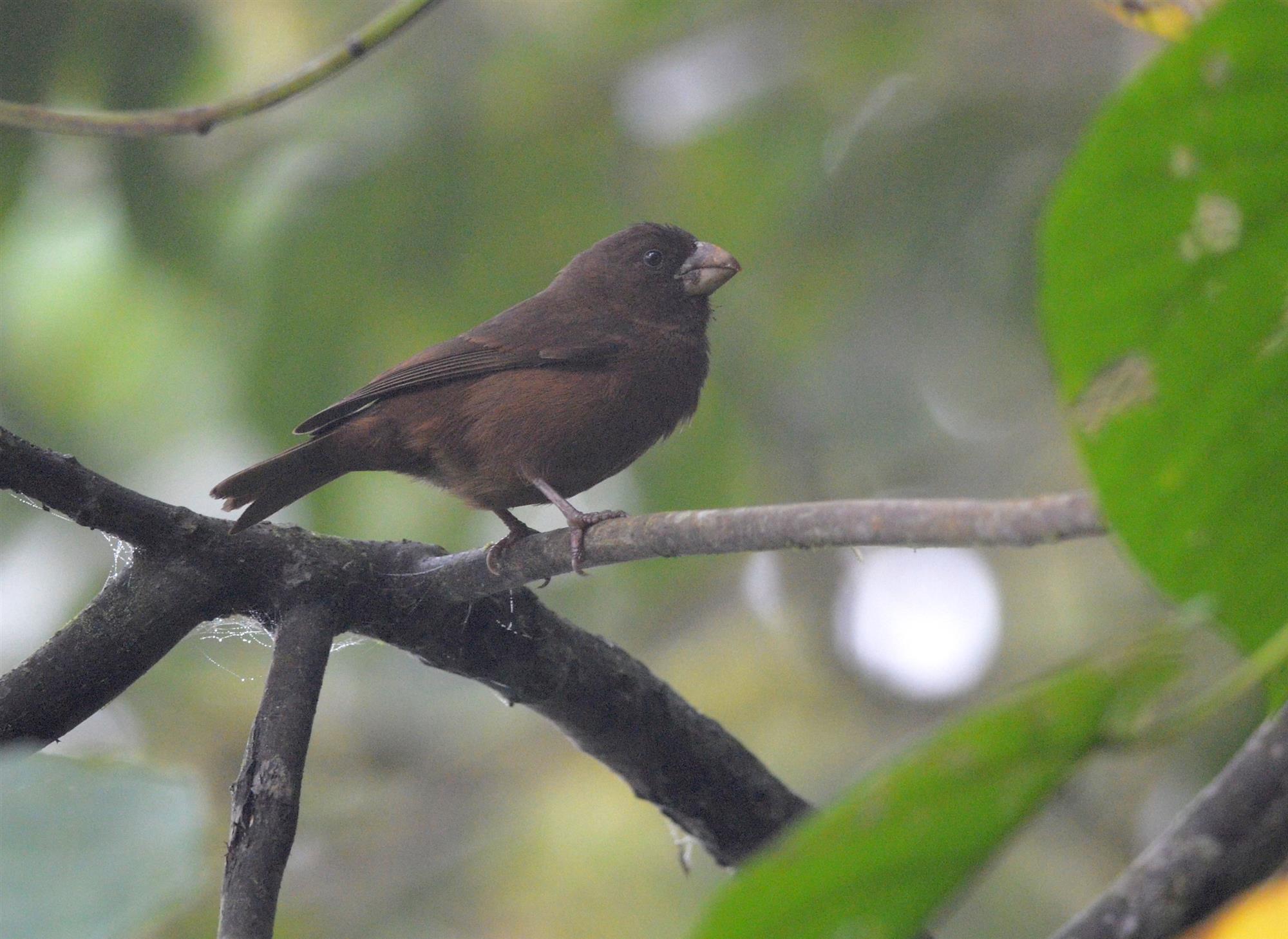 Picogordo de Santo Tomé